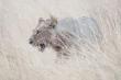 04 Junger Löwe - Namibia