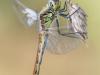 weibchen-der-sumpf-heidelibelle