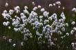 Wollgras im letzten Abendlicht (Eriophorum vaginatum)