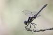 Libelle in Obeliskenstellung (Sympetrum danae)