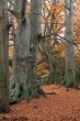 Rotbuchen, Altholz im Wehlen