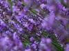 Lavendel im weichen Abendlicht