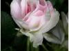 8-rose