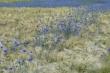 06_kornblumen-gibt-es-noch