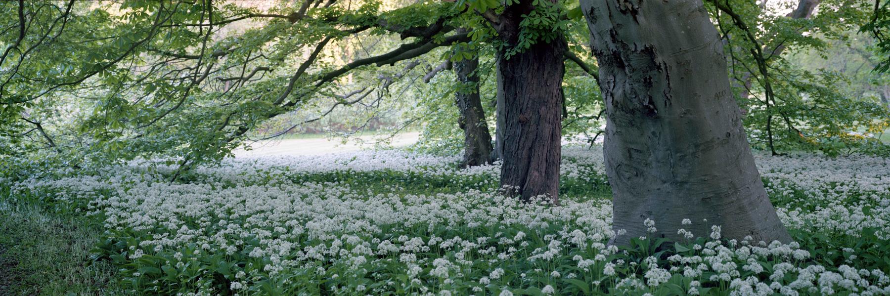 Bärlauchblüte-Putbus-Jasmund002