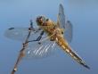 Libellen, meine Lieblingsmotive - Vierfleck